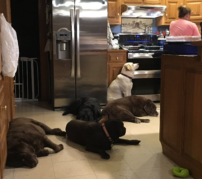 Bachman Mill Labrador Retrievers