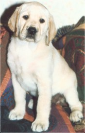 Labrador Puppies From Shadyside Bachman Mill