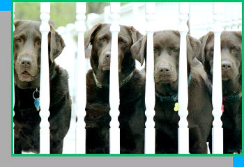 Labrador Retriever Breeder